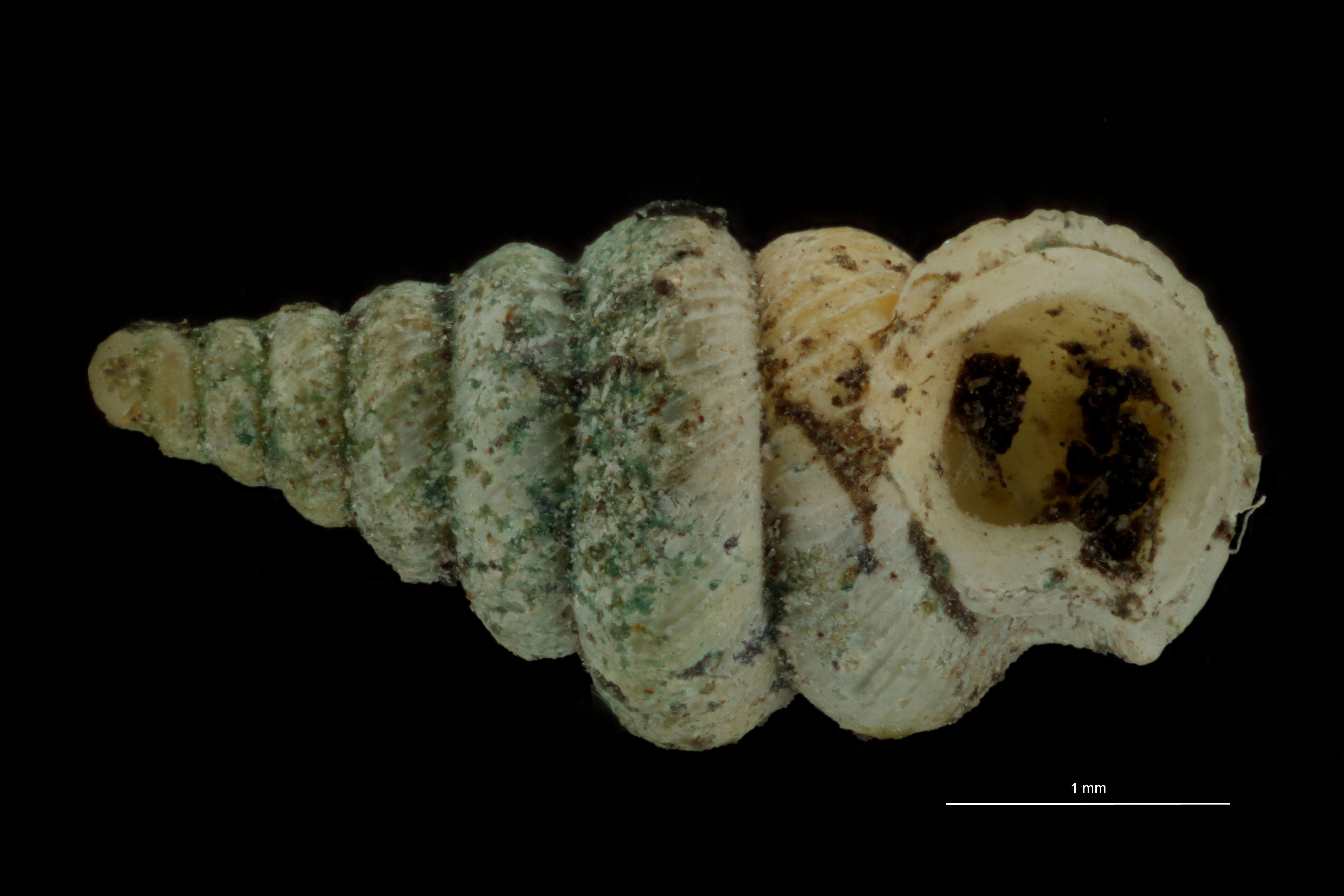 BE-RBINS-INV PARATYPE MT 1046 Diplommatina balansai var. robusta FRONTAL.jpg