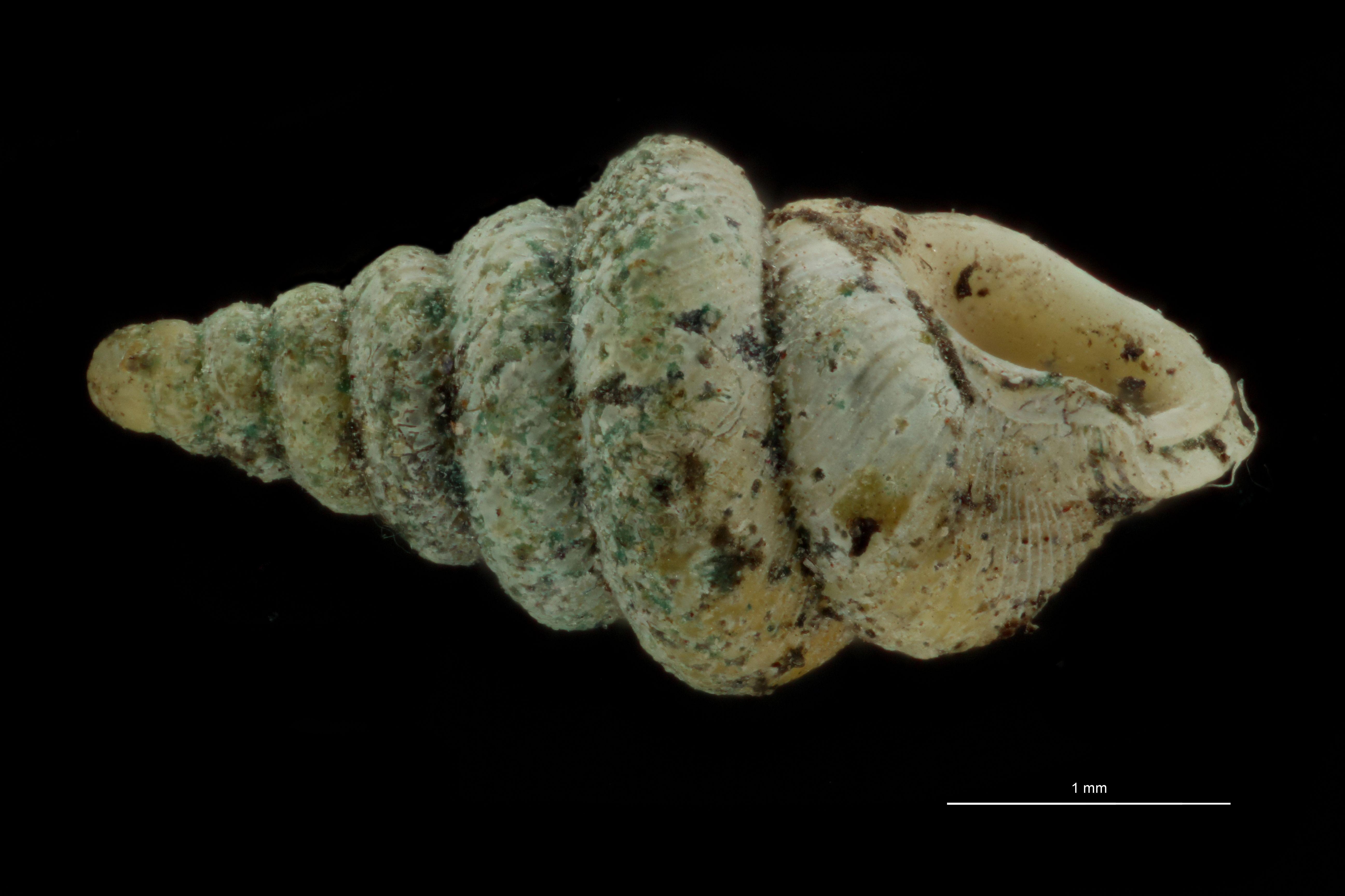 BE-RBINS-INV PARATYPE MT 1046 Diplommatina balansai var. robusta LATERAL.jpg