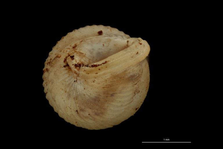 BE-RBINS-INV PARATYPE MT 1049 Diplommatina bifissurata BUCAL.jpg
