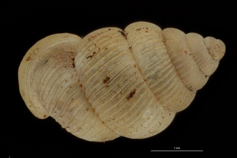 BE-RBINS-INV PARATYPE MT 1049 Diplommatina bifissurata DORSAL.jpg