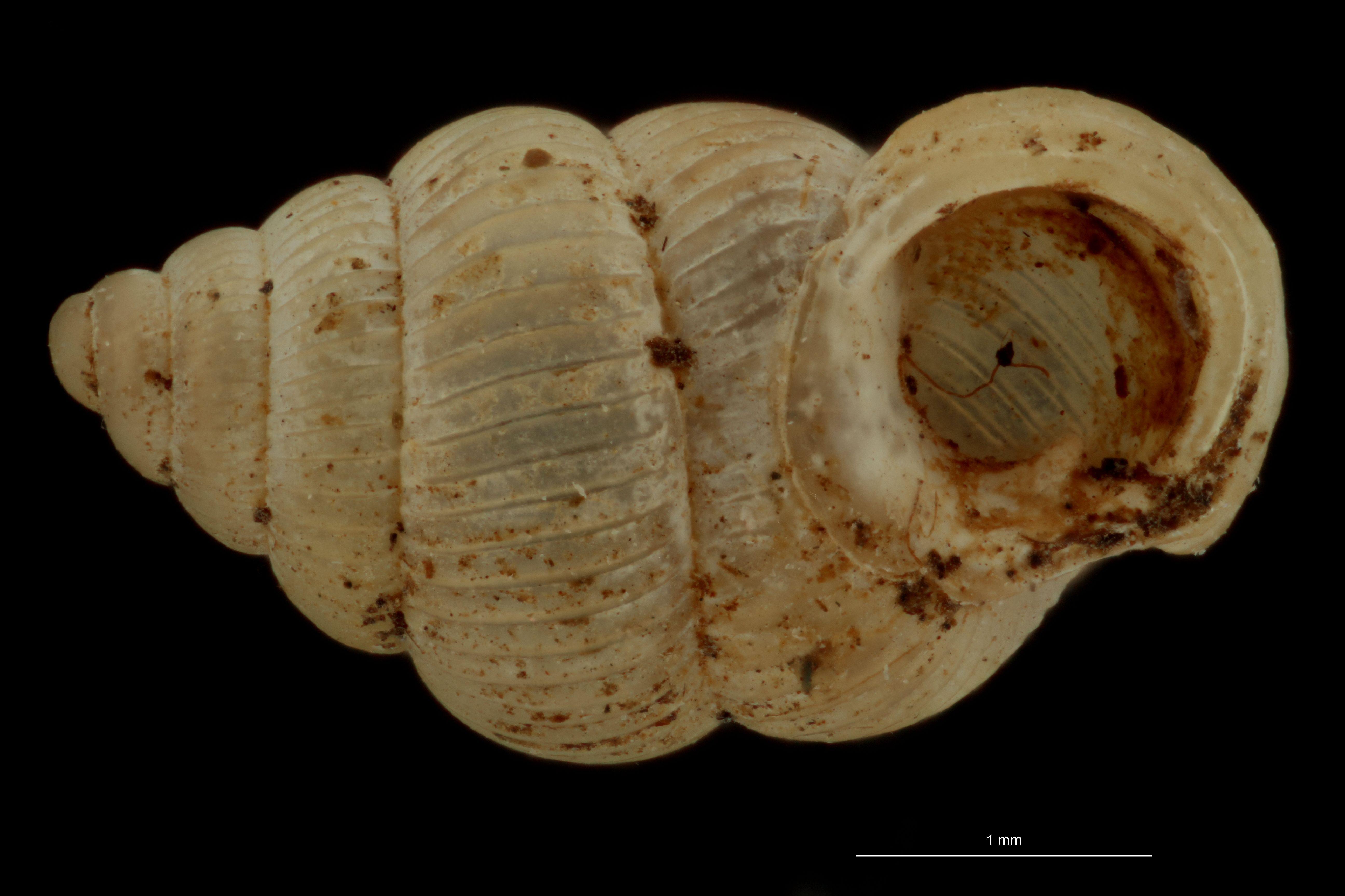 BE-RBINS-INV PARATYPE MT 1049 Diplommatina bifissurata FRONTAL.jpg