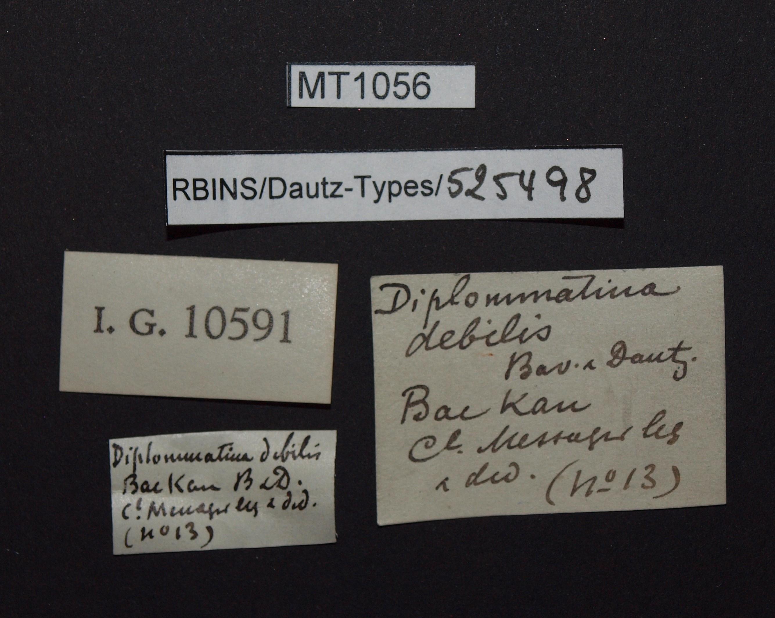 Diplommatina debilis pt.JPG