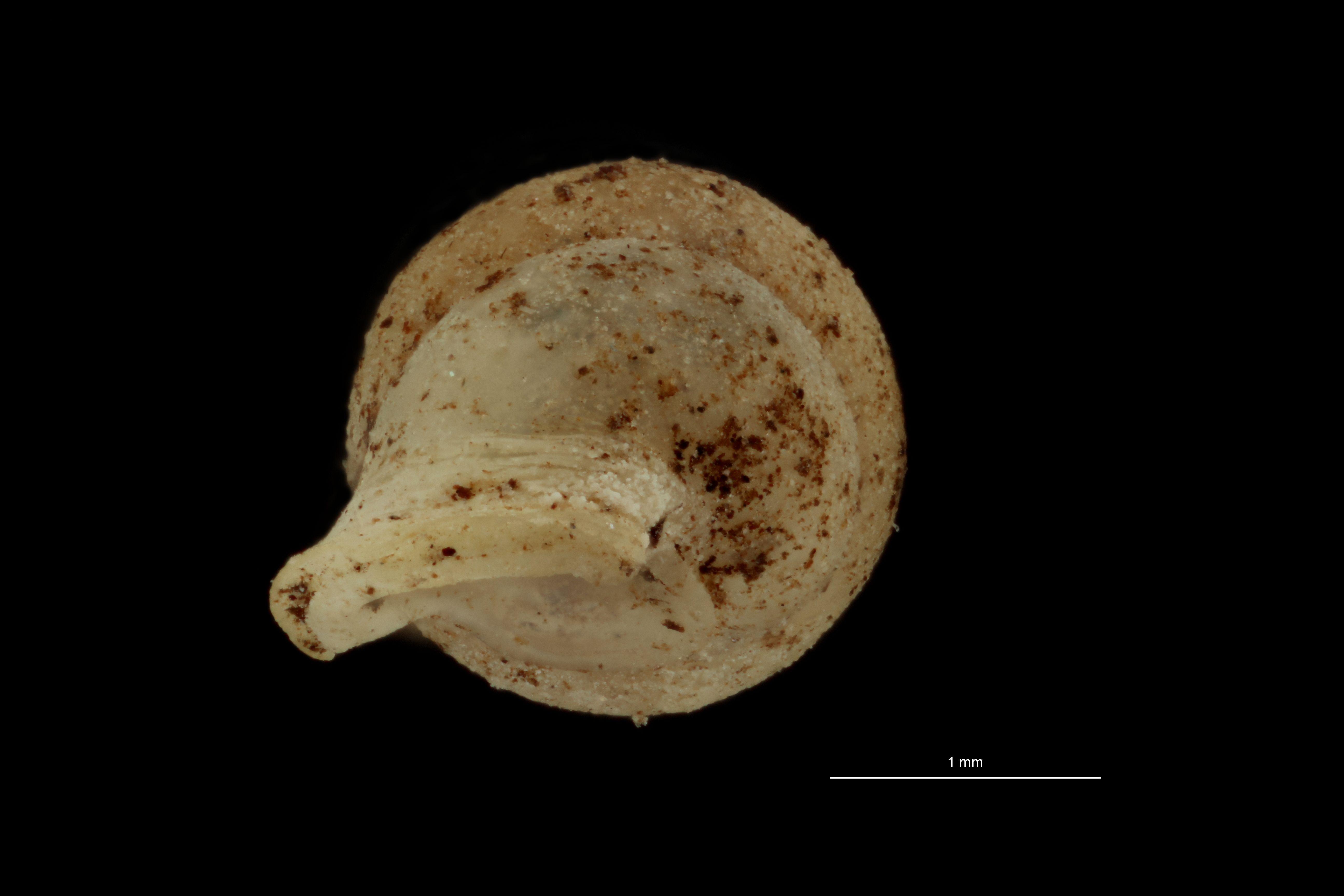 BE-RBINS-INV MT.1057/1 Diplommatina demangei pt U.jpg