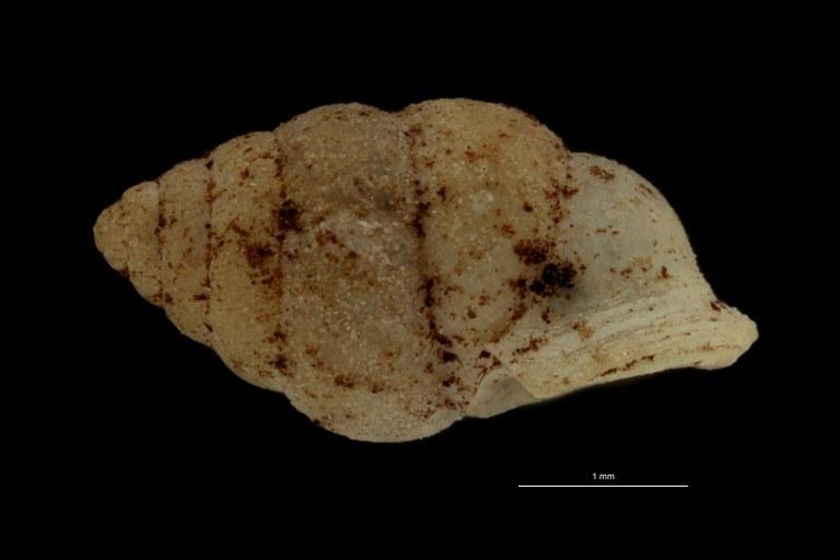 BE-RBINS-INV PARATYPE MT.1057/1 Diplommatina demangei LATERAL.jpg