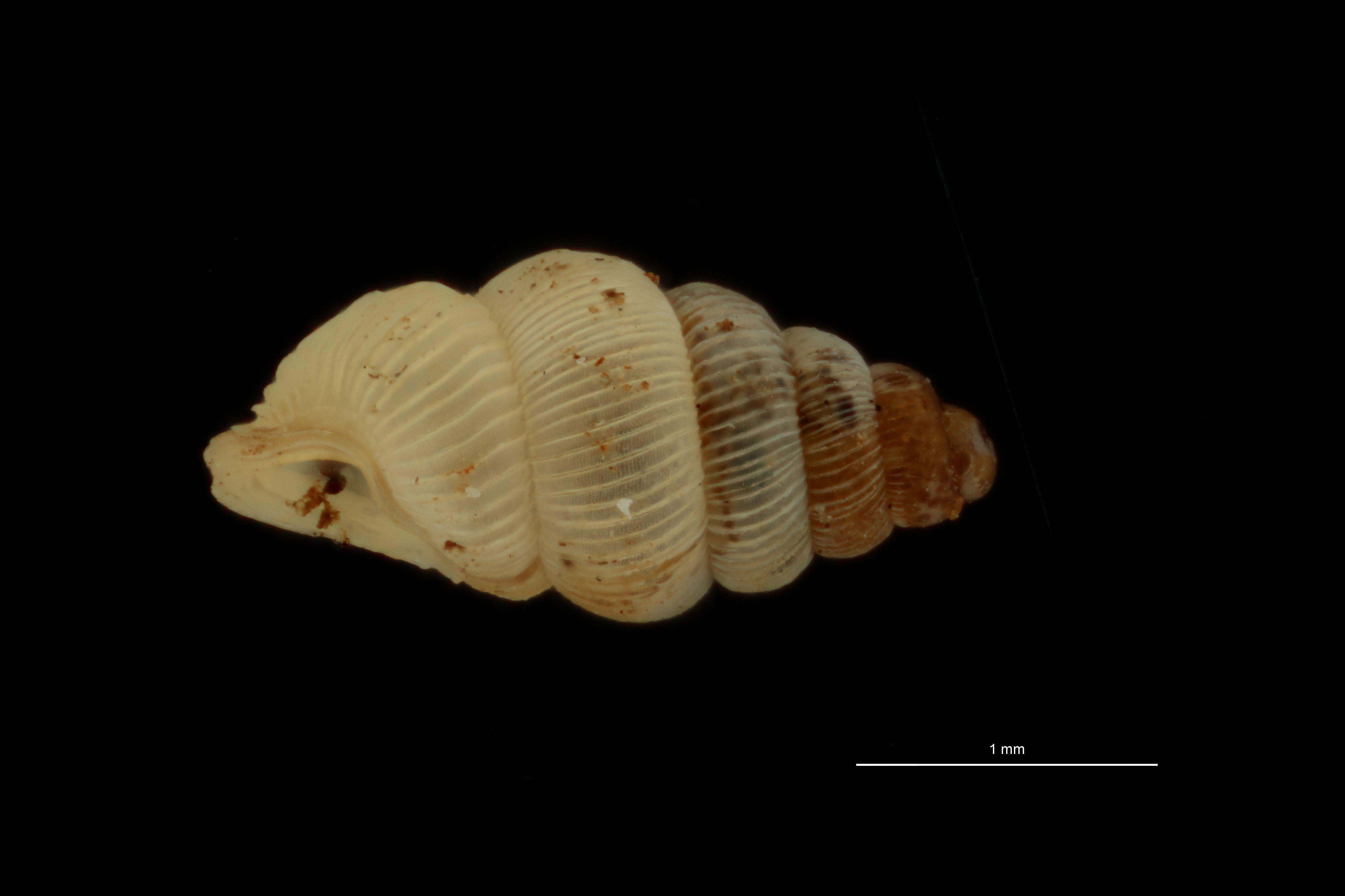 BE-RBINS-INV PARATYPE MT 1047 Diplommatina (Diplommatina) baliana LATERAL.jpg