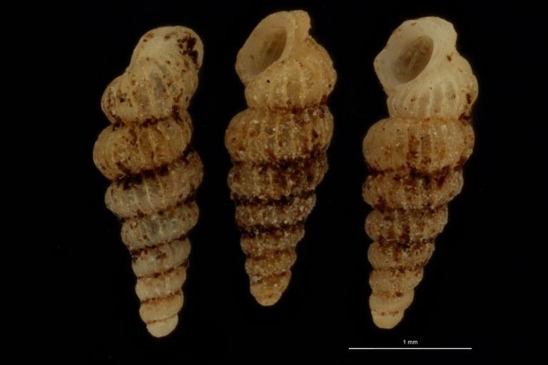 BE-RBINS-INV PARATYPE MT 1048 Diplommatina (Diplommatina) belonis GROUPE.jpg