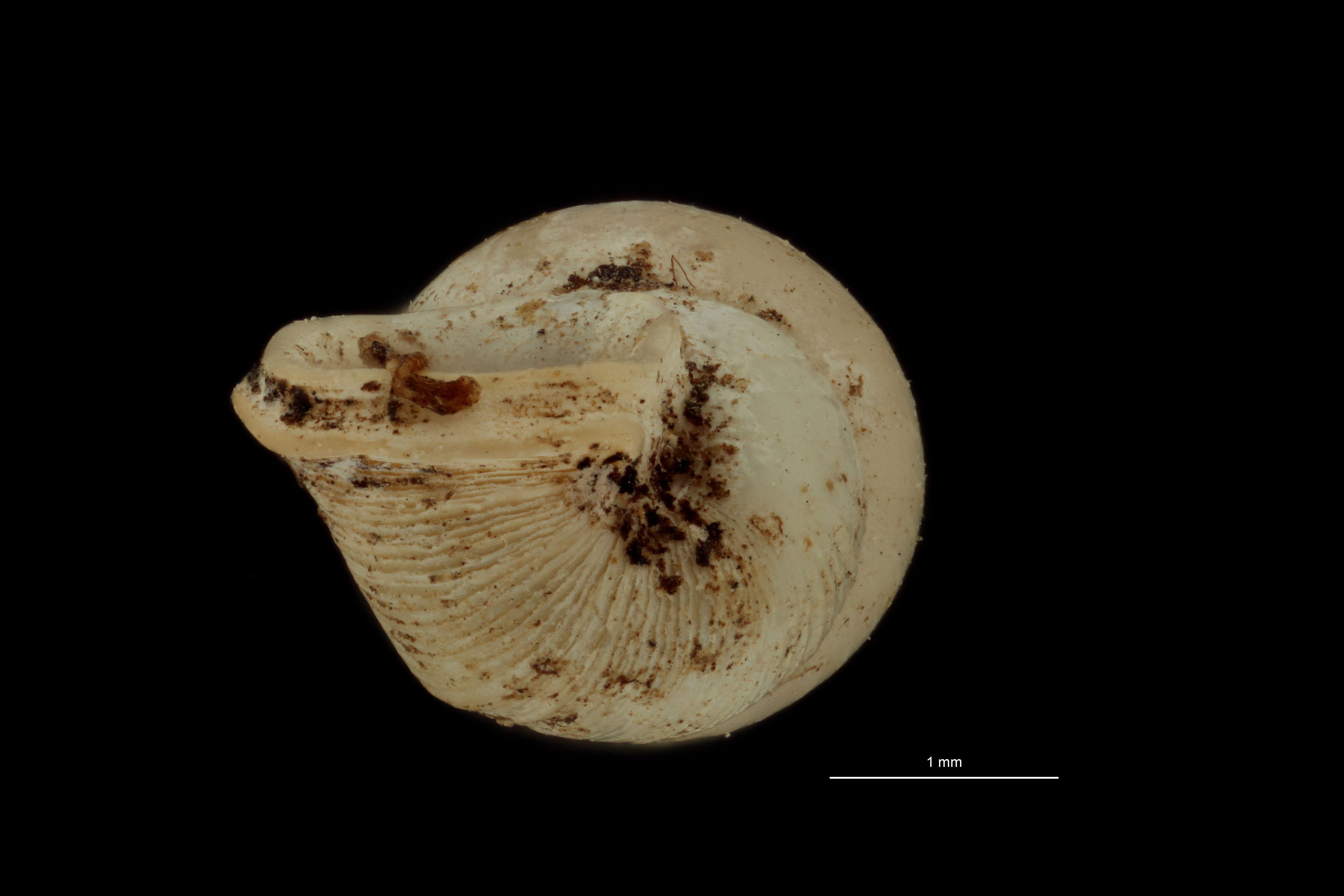 BE-RBINS-INV PARATYPE MT 1058 Diplommatina edentata BUCAL.jpg