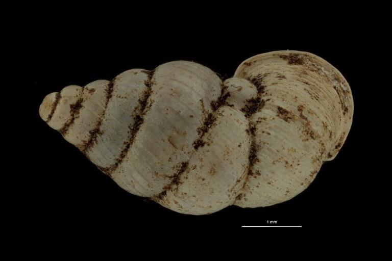 BE-RBINS-INV PARATYPE MT 1058 Diplommatina edentata DORSAL.jpg