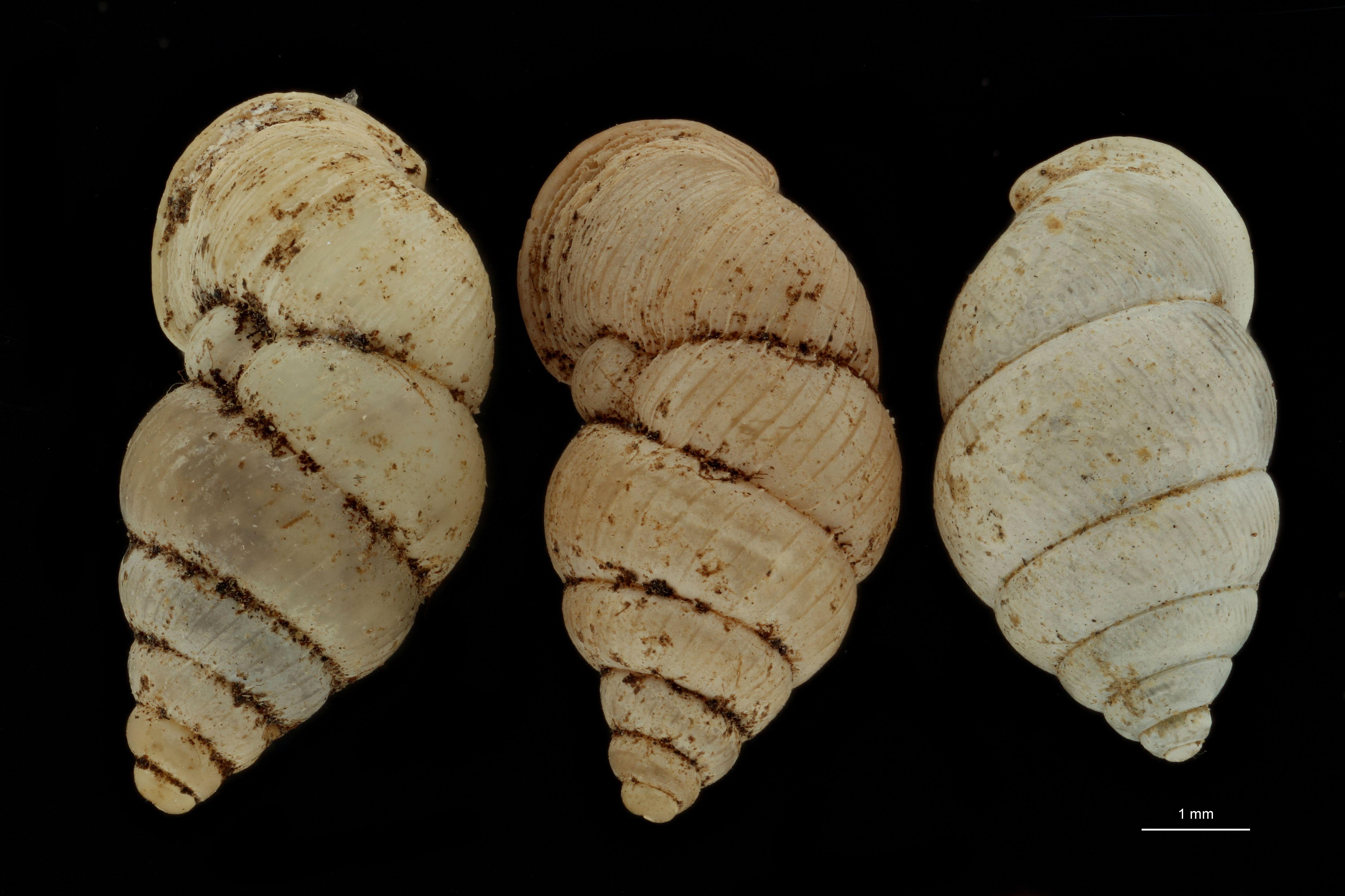 BE-RBINS-INV PARATYPE MT 1058 Diplommatina edentata GROUPE.jpg