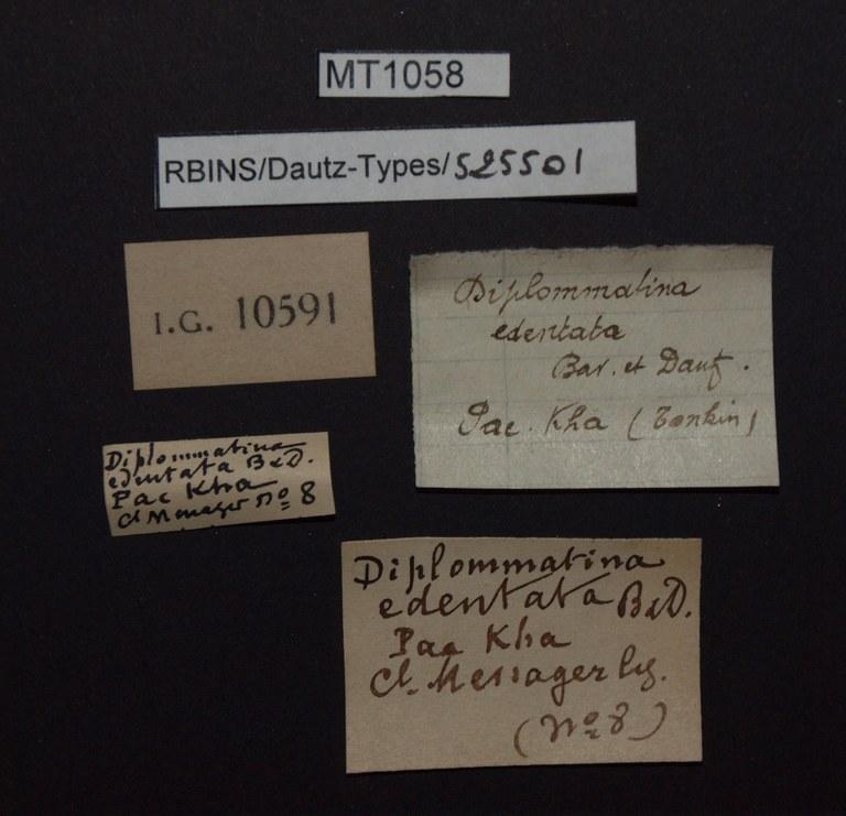 BE-RBINS-INV PARATYPE MT 1058 Diplommatina edentata LABELS.jpg