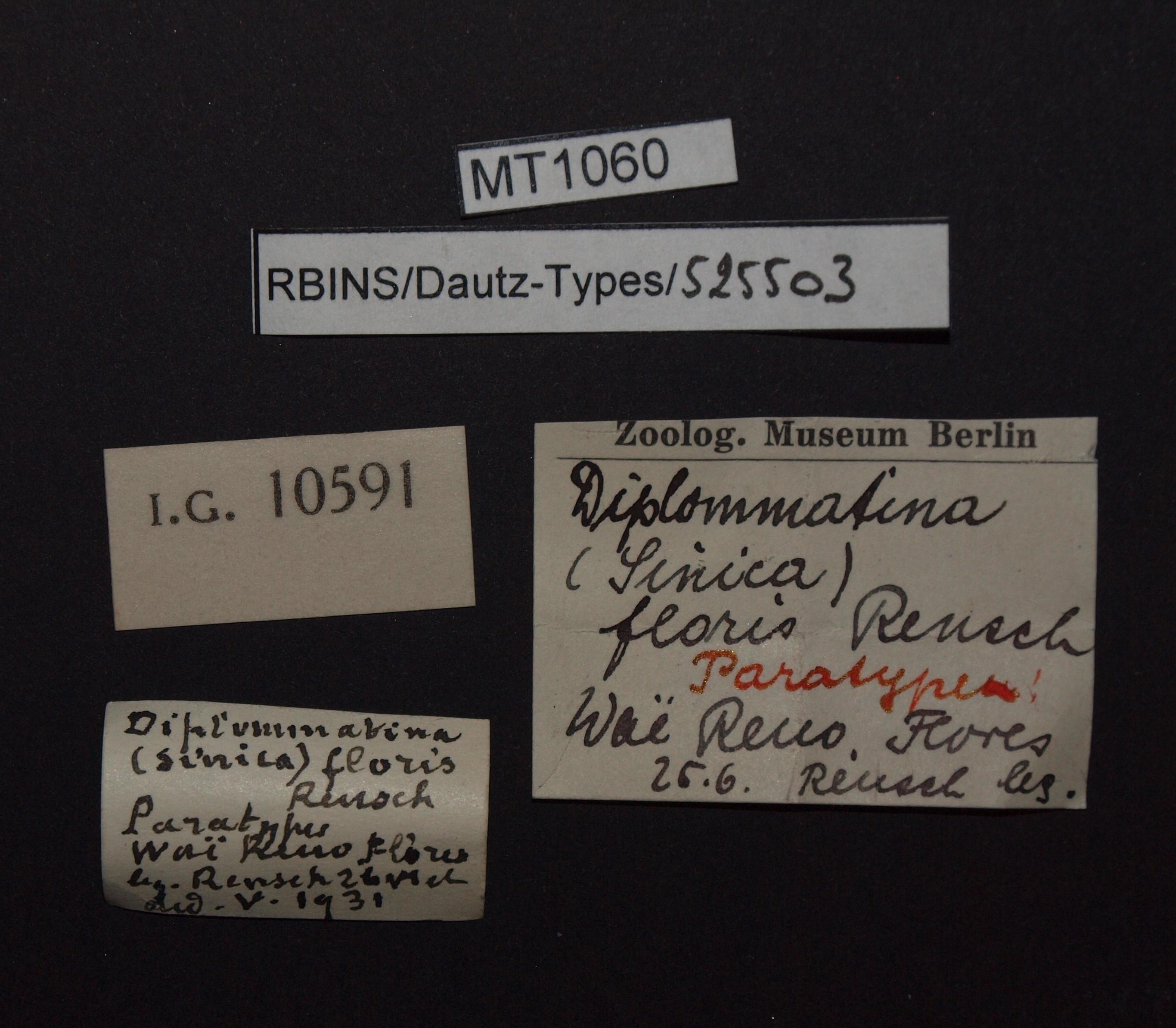 Diplommatina floris pt.JPG