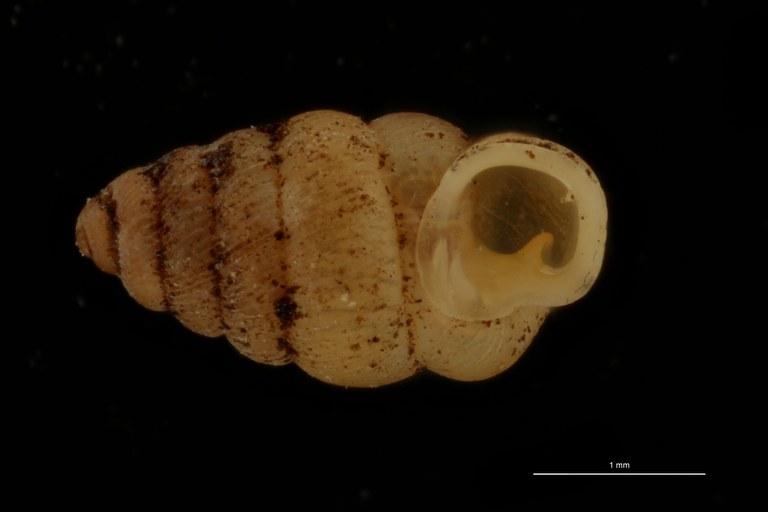 BE-RBINS-INV PARATYPE MT 1065 Diplommatina (Sinica) gibbera FRONTAL.jpg