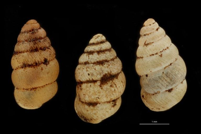 BE-RBINS-INV PARATYPE MT 1065 Diplommatina (Sinica) gibbera GROUPE.jpg