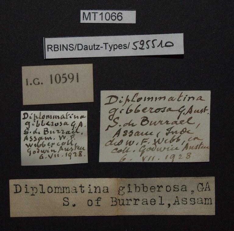 BE-RBINS-INV PARATYPE MT 1066 Diplommatina (Diplommatina) gibberosa LABELS.jpg