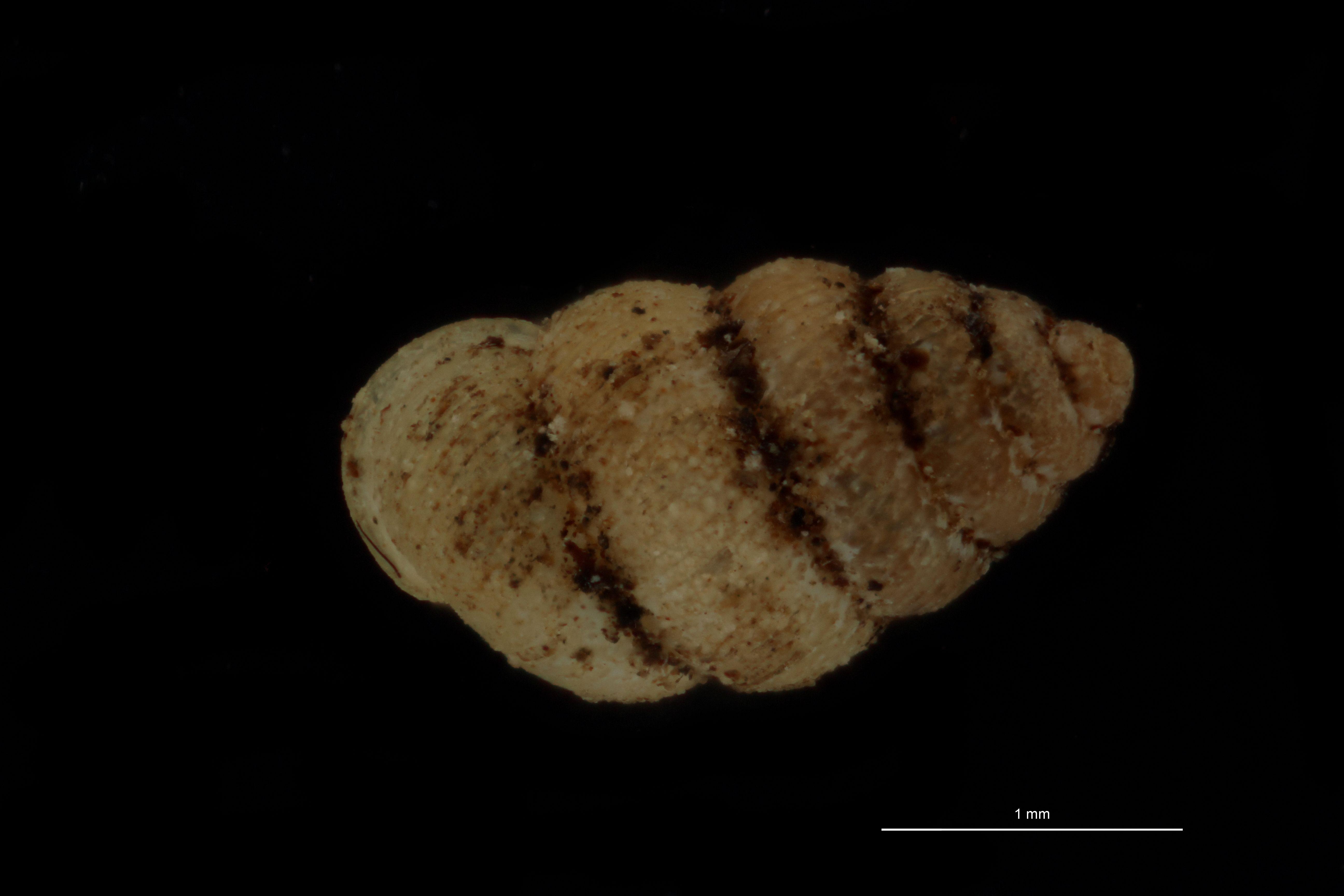 BE-RBINS-INV MT 1068 Diplommatina (Sinica) gotoensis pt D.jpg