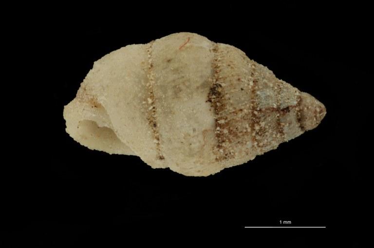 BE-RBINS-INV PARATYPE MT 1054 Diplommatina (Metadiancta) compacta LATERAL.jpg