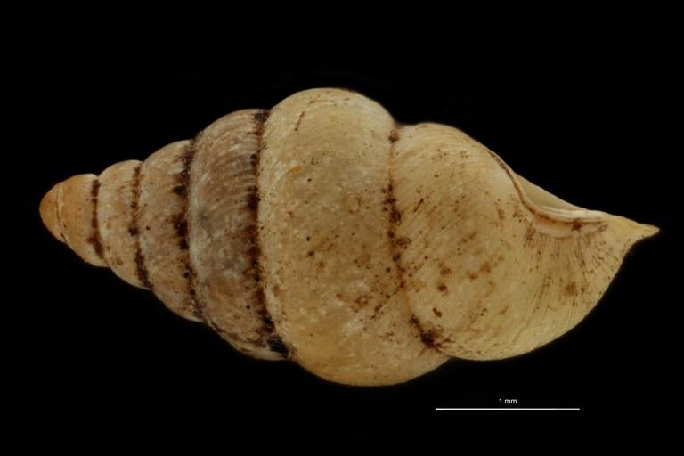 BE-RBINS-INV PARATYPE MT 1041 Diplommatina (Sinica) auriculata var. abbreviata LATERAL.jpg