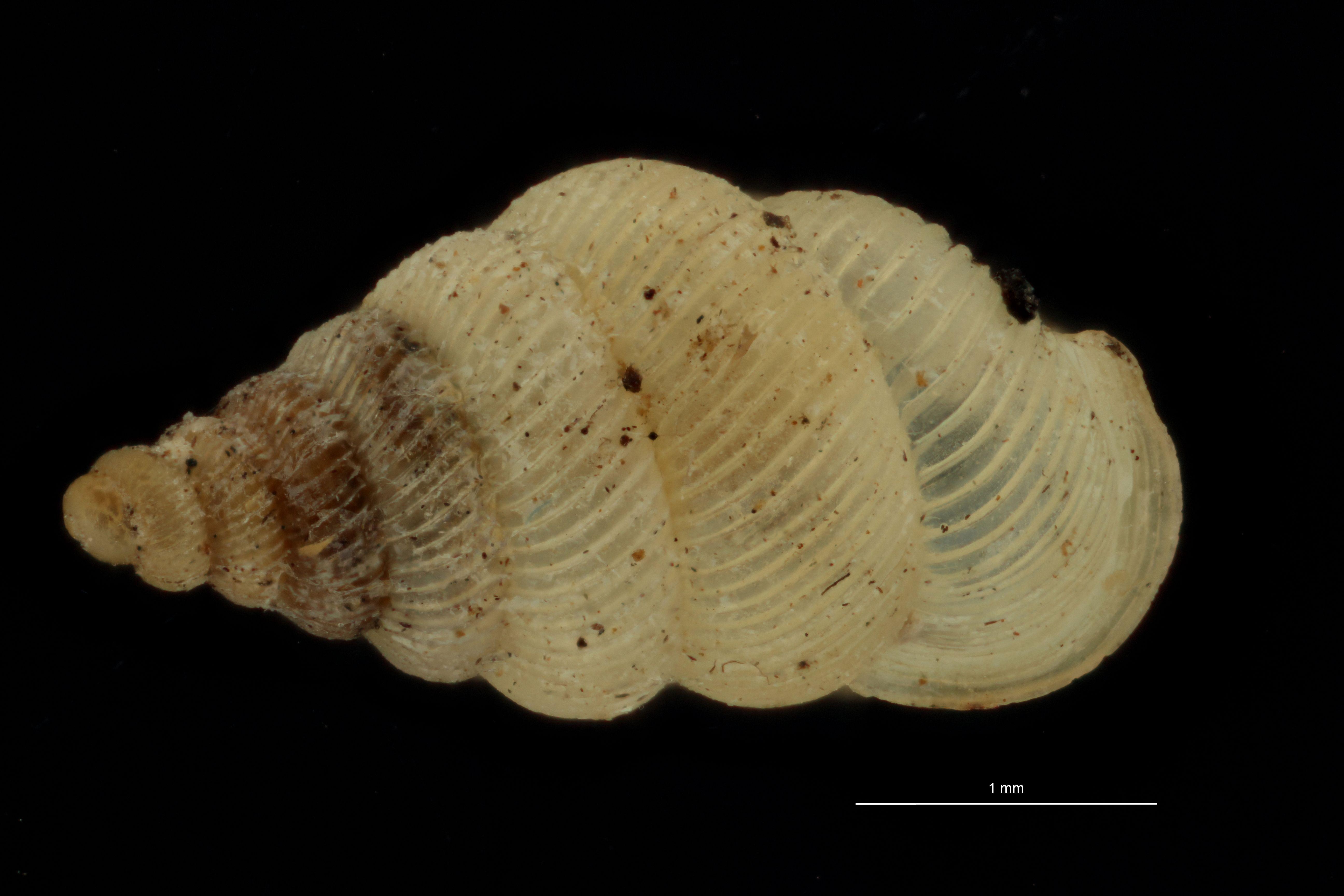BE-RBINS-INV MT 1040 Diplommatina (Sinica) auriculata pt D.jpg