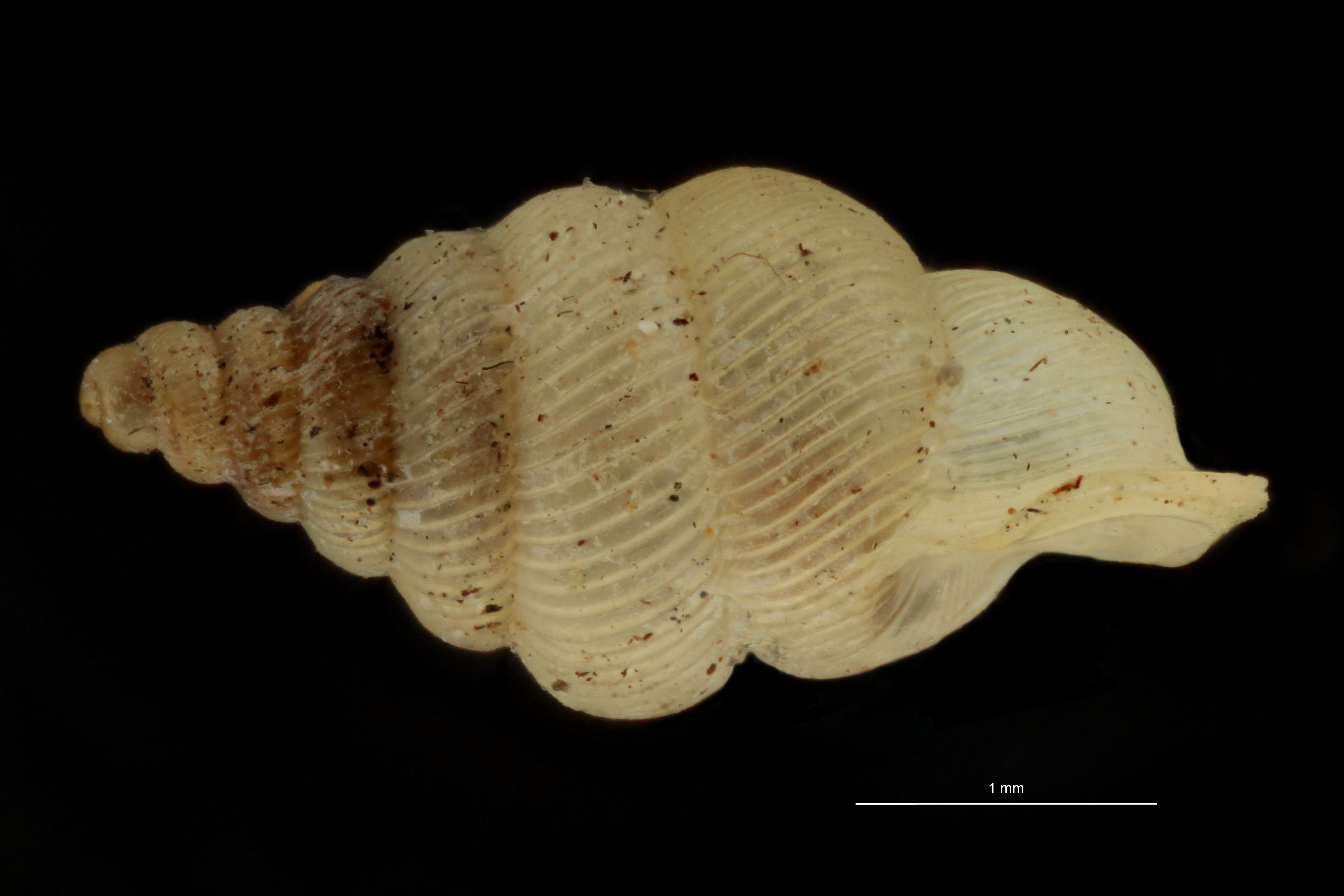 Diplommatina auriculata pt L.jpg