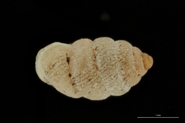 BE-RBINS-INV PARATYPE MT 1050 Diplommatina (Sinica) cassa DORSAL.jpg