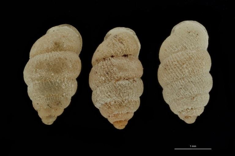 BE-RBINS-INV PARATYPE MT 1050 Diplommatina (Sinica) cassa GROUPE.jpg