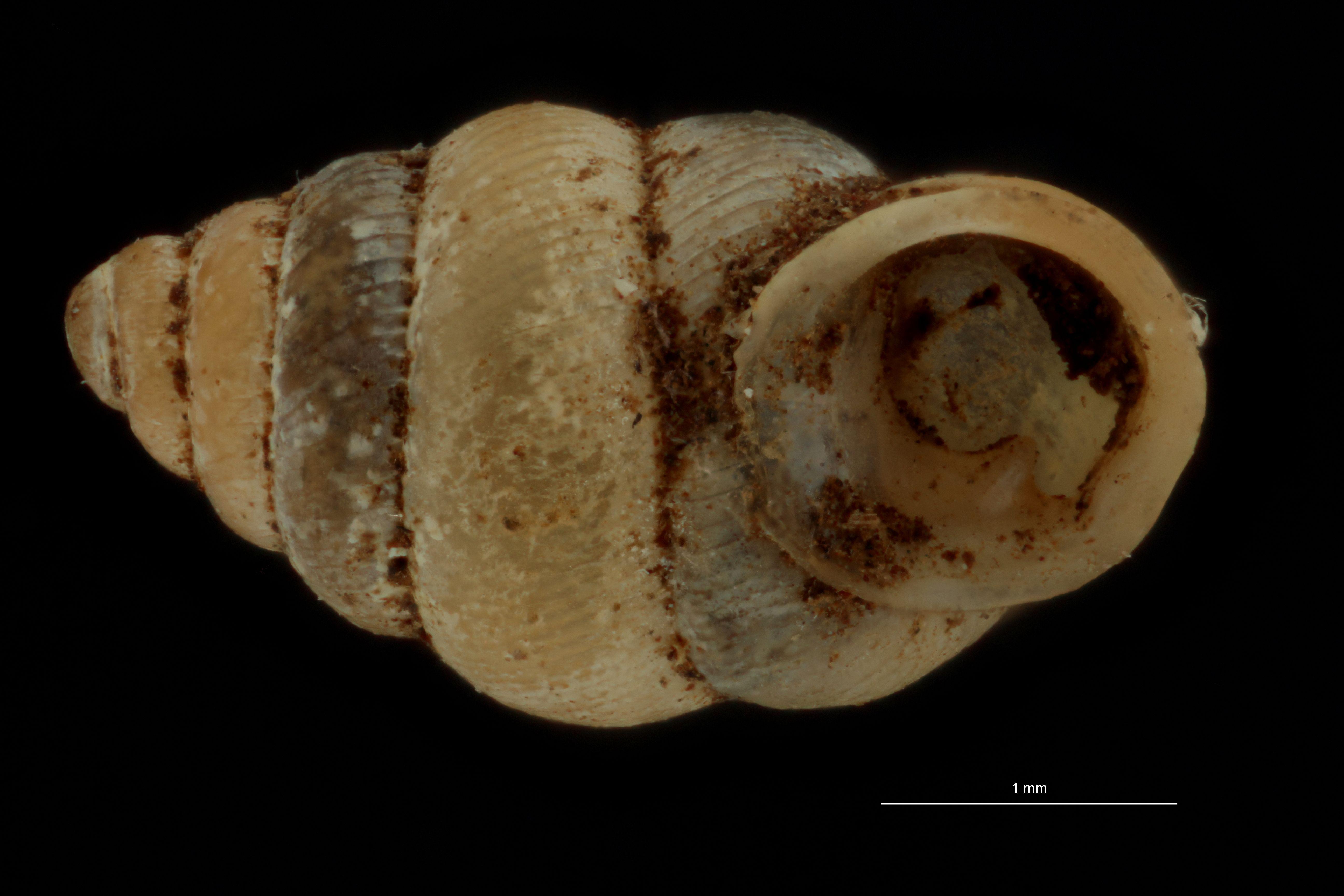 Diplommatina collarifera pt F.jpg