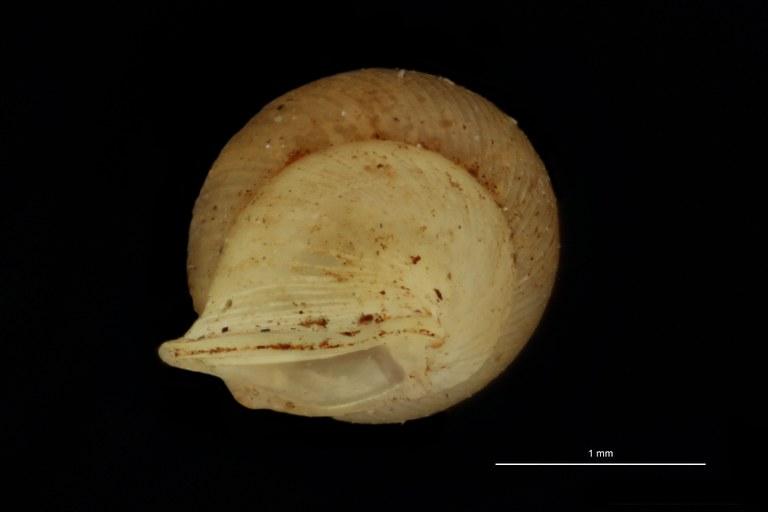BE-RBINS-INV PARATYPE MT.1062/2 Diplommatina (Sinica) var. canalifera BUCAL.jpg