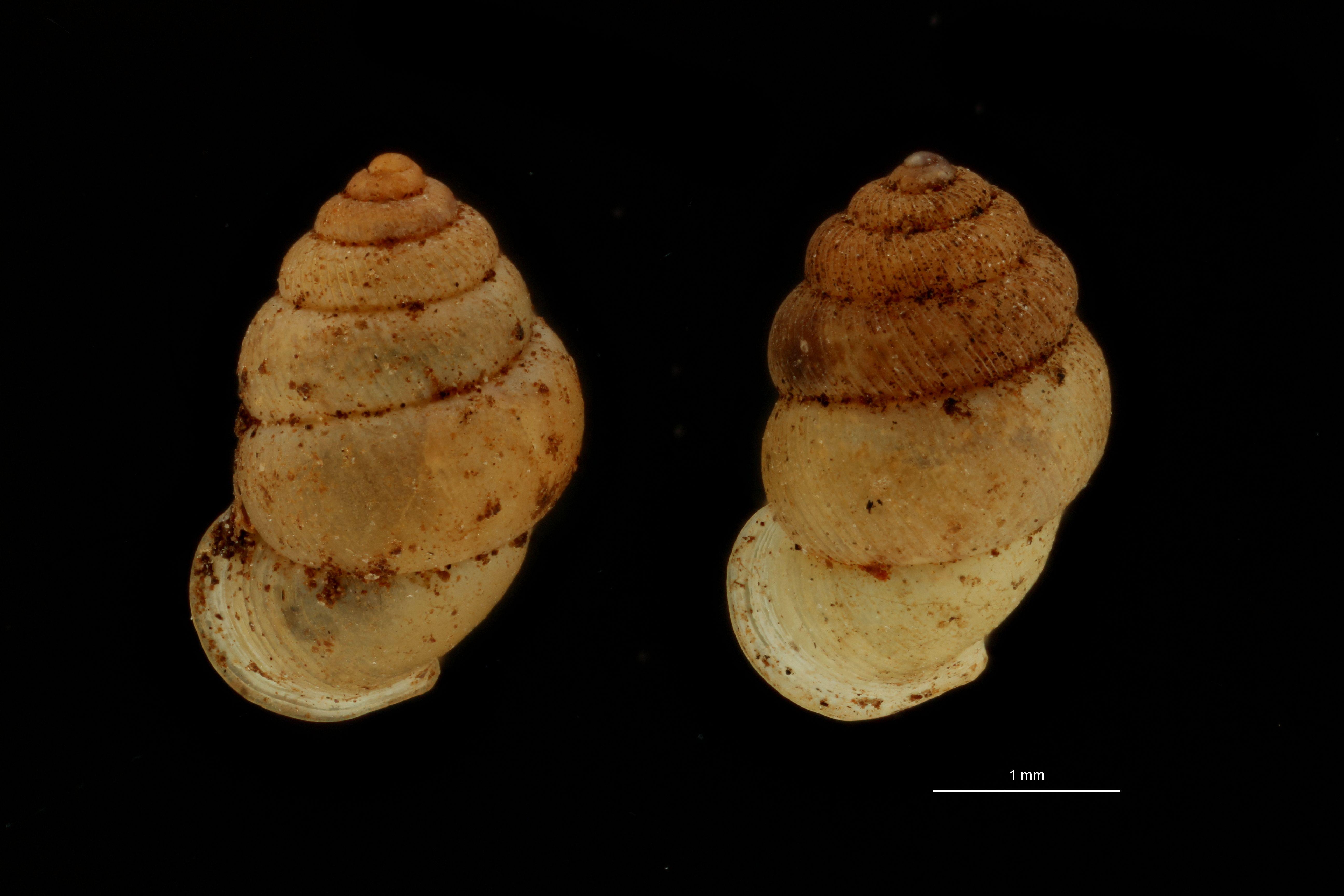 BE-RBINS-INV PARATYPE MT.1062/2 Diplommatina (Sinica) var. canalifera GROUPE.jpg