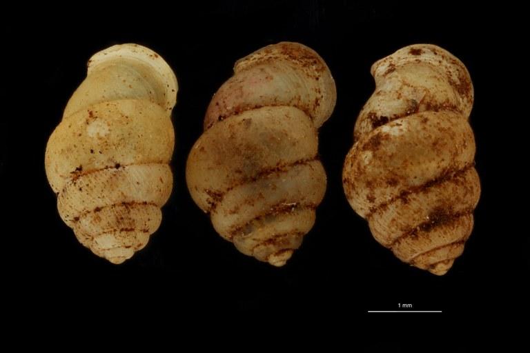 BE-RBINS-INV PARATYPE MT.1062/1 Diplommatina (Sinica) var. canalifera GROUPE.jpg