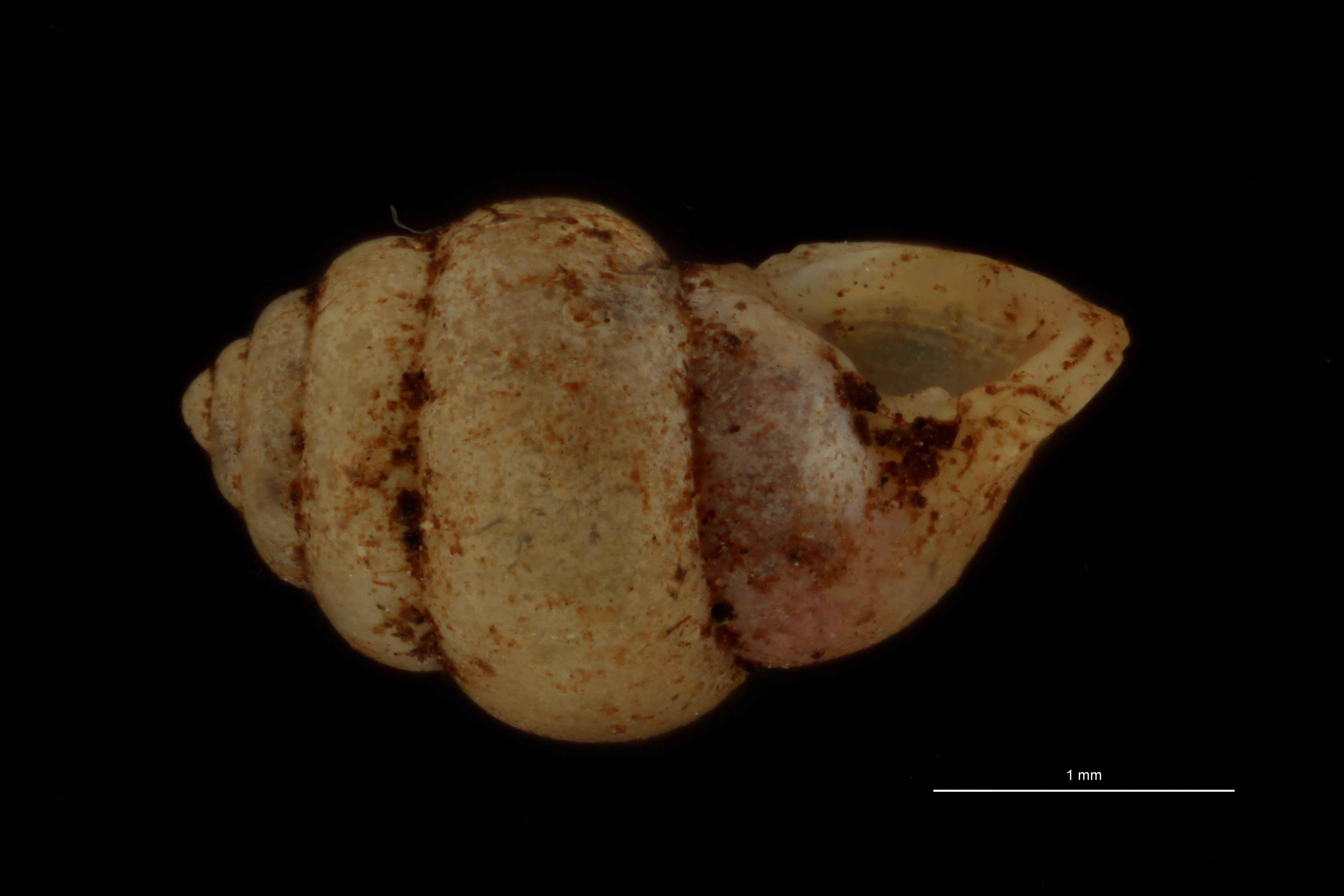 BE-RBINS-INV PARATYPE MT.1062/1 Diplommatina (Sinica) var. canalifera LATERAL.jpg