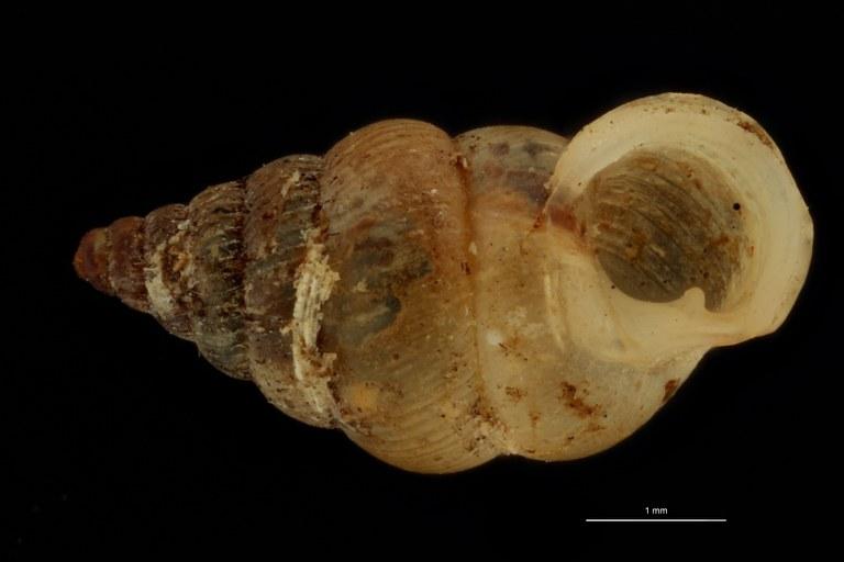 BE-RBINS-INV PARATYPE MT 1064 Diplommatina (Sinica) germani FRONTAL.jpg