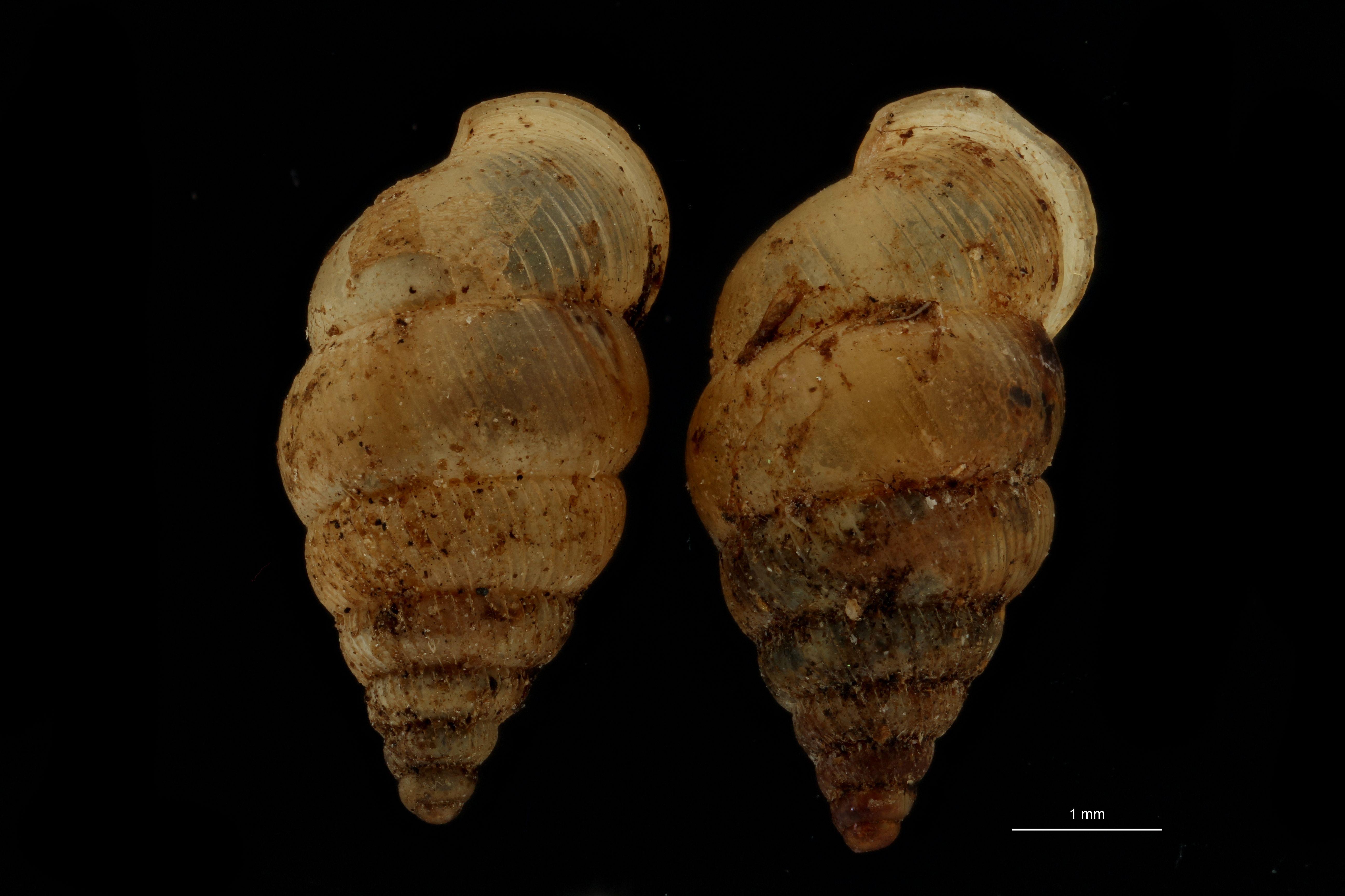 BE-RBINS-INV MT 1064 Diplommatina (Sinica) germaini pt GROUPE.jpg