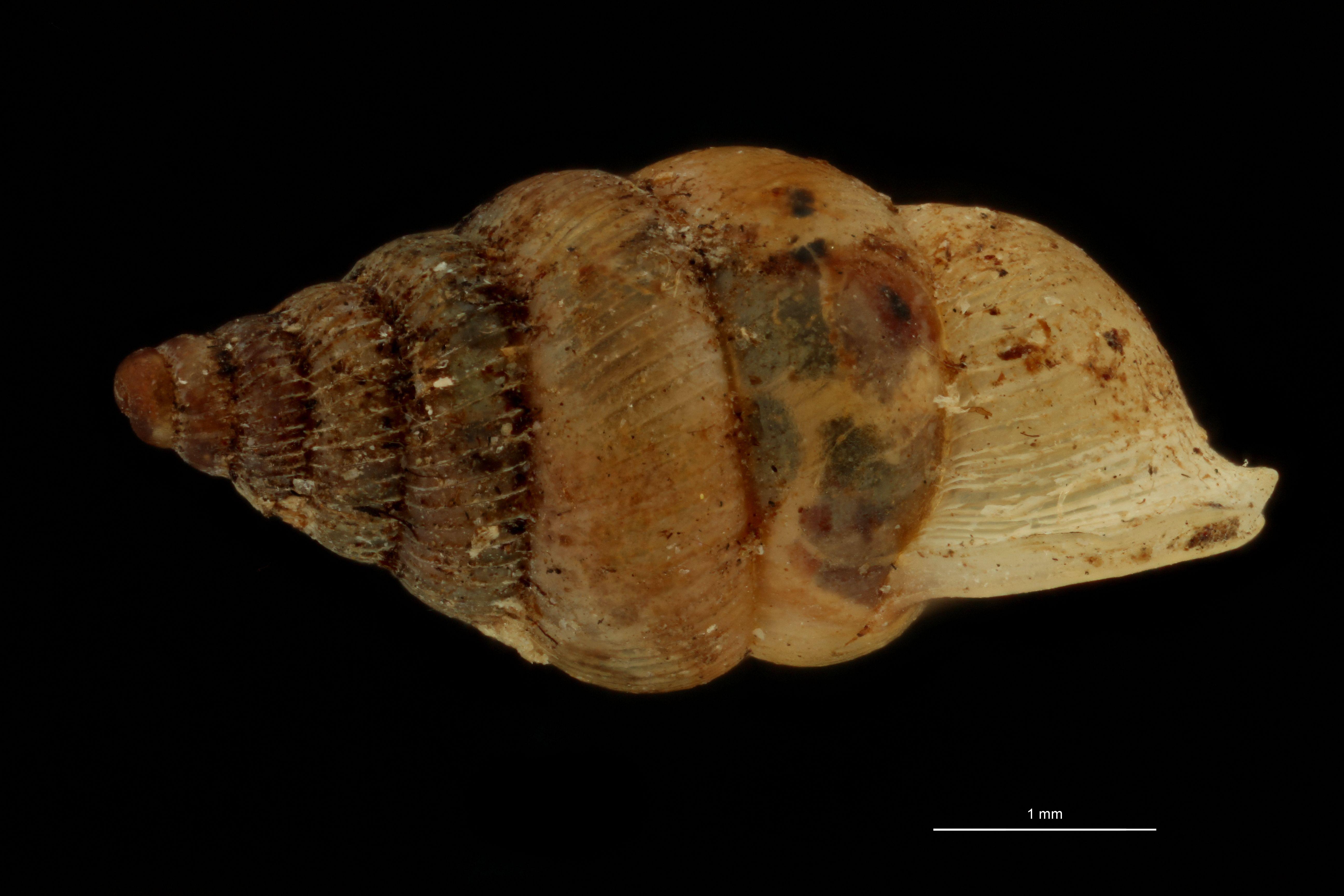 Diplommatina germaini pt L.jpg
