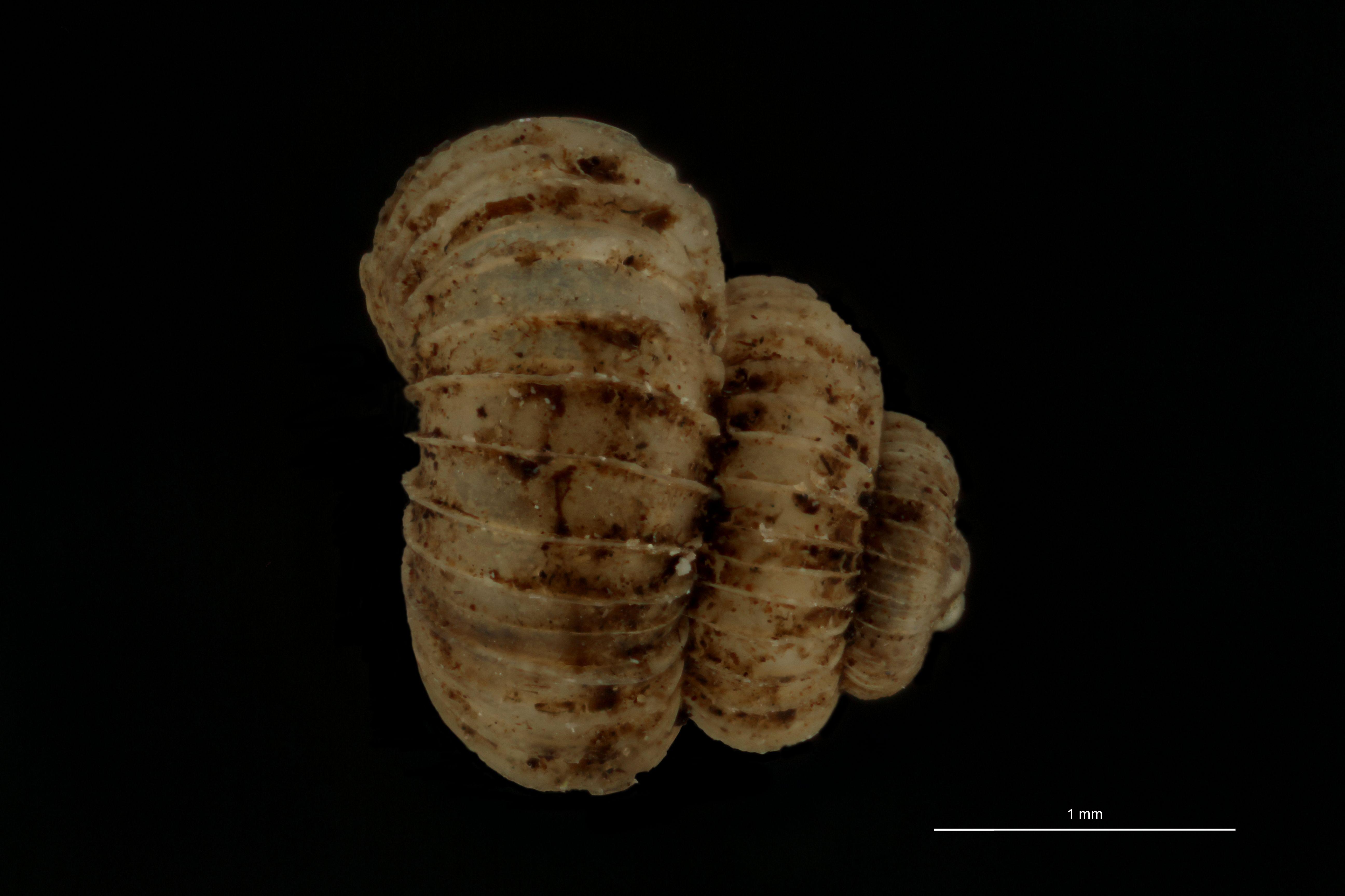 BE-RBINS-INV PARATYPE MT.1016/1 Helicomorpha (Messageria) scalarioides DORSAL.jpg