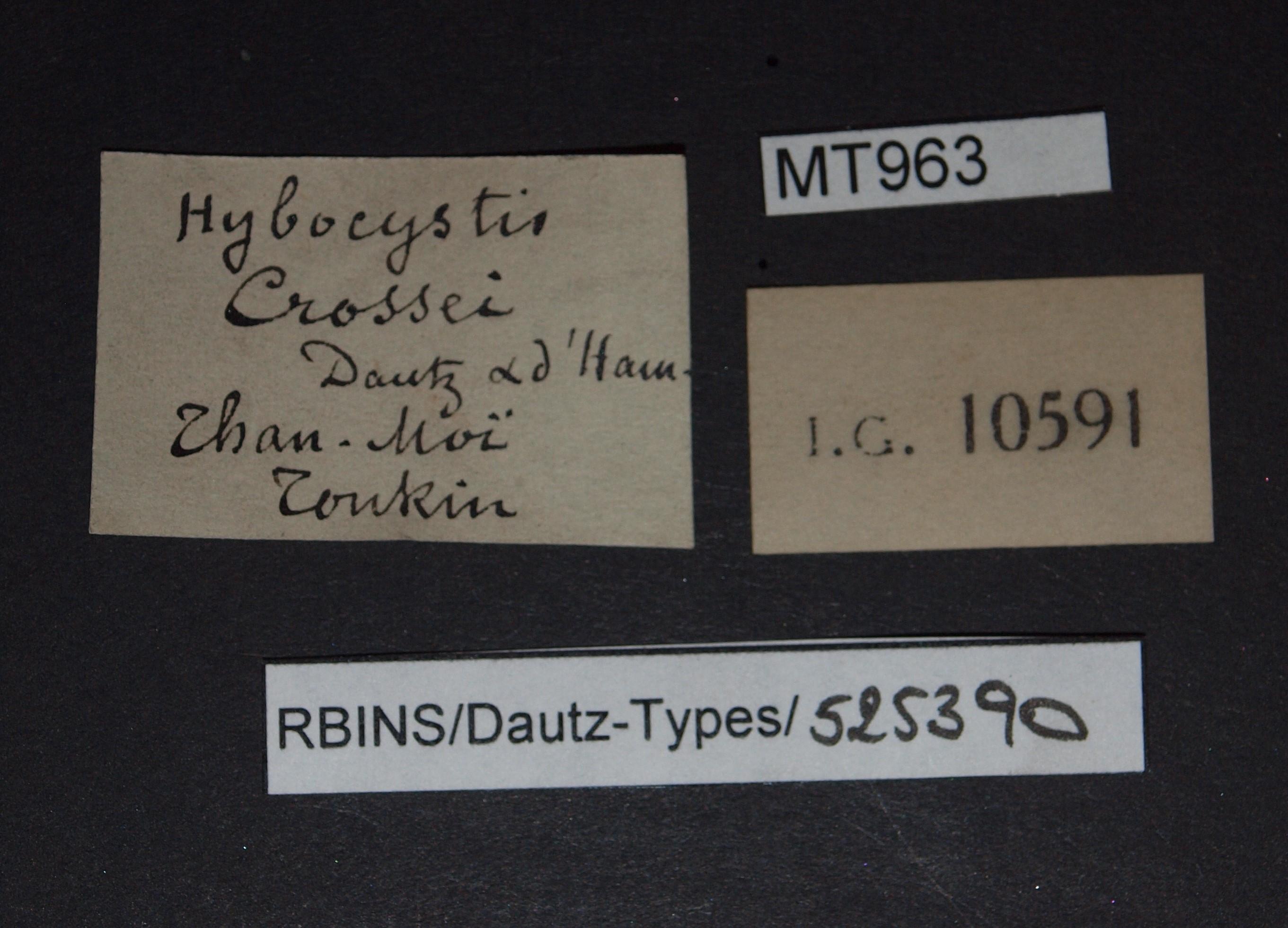 BE-RBINS-INV MT 963 Hybocystis crossei pt Lb.jpg