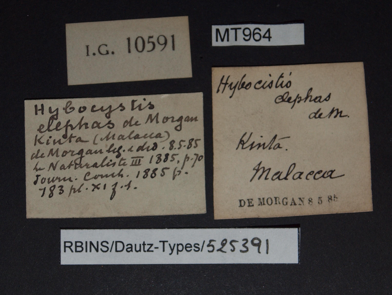 BE-RBINS-INV MT 963 Hybocystis elephas pt Lb.jpg