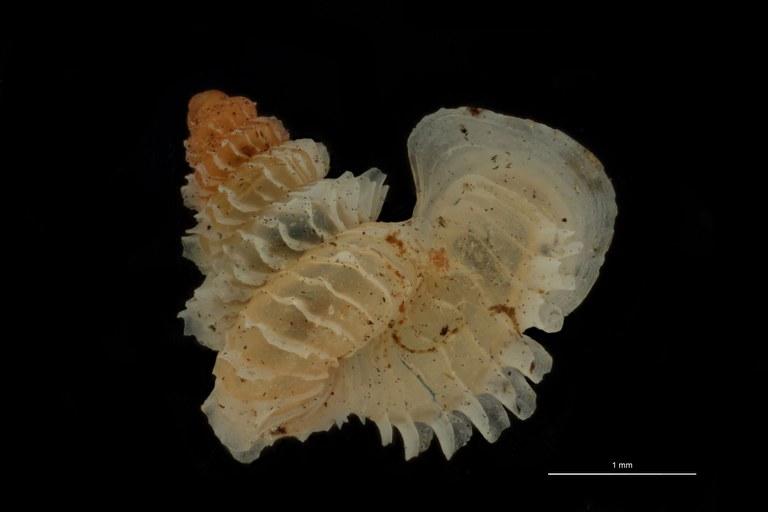 BE-RBINS-INV PARATYPE MT 1031 Opisthostoma (Geothauma) concinnum DORSAL.jpg