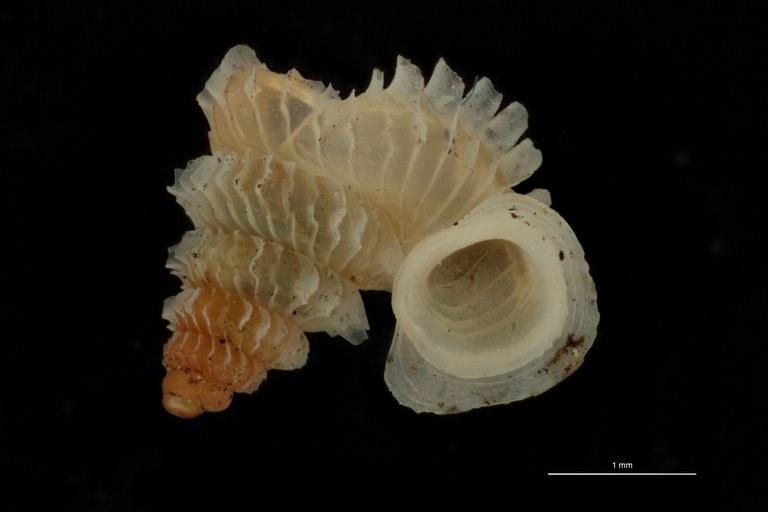 BE-RBINS-INV PARATYPE MT 1031 Opisthostoma (Geothauma) concinnum FRONTAL.jpg