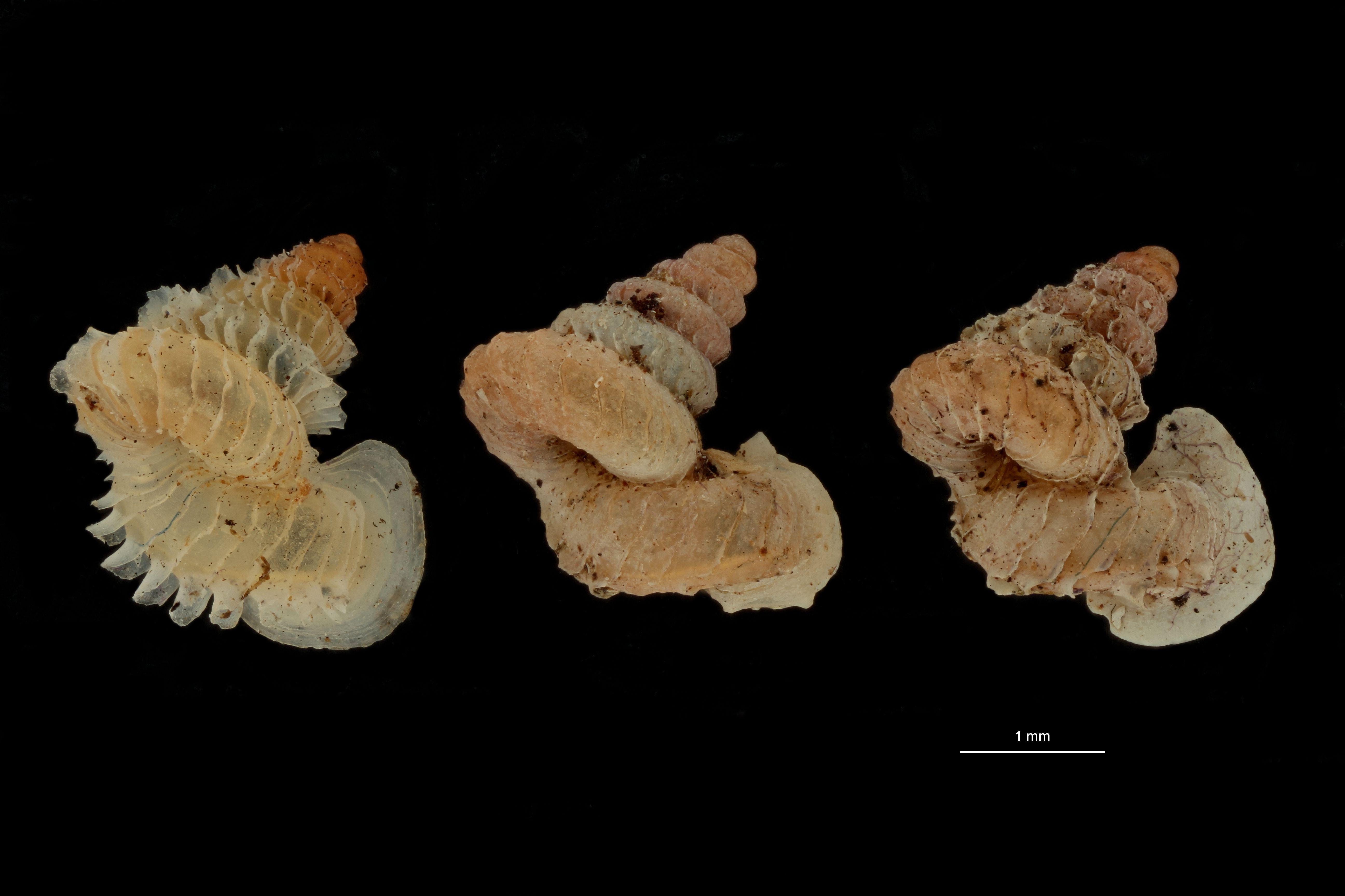 BE-RBINS-INV MT 1031 Opisthostoma (Geothauma) concinnum pt GROUPE.jpg