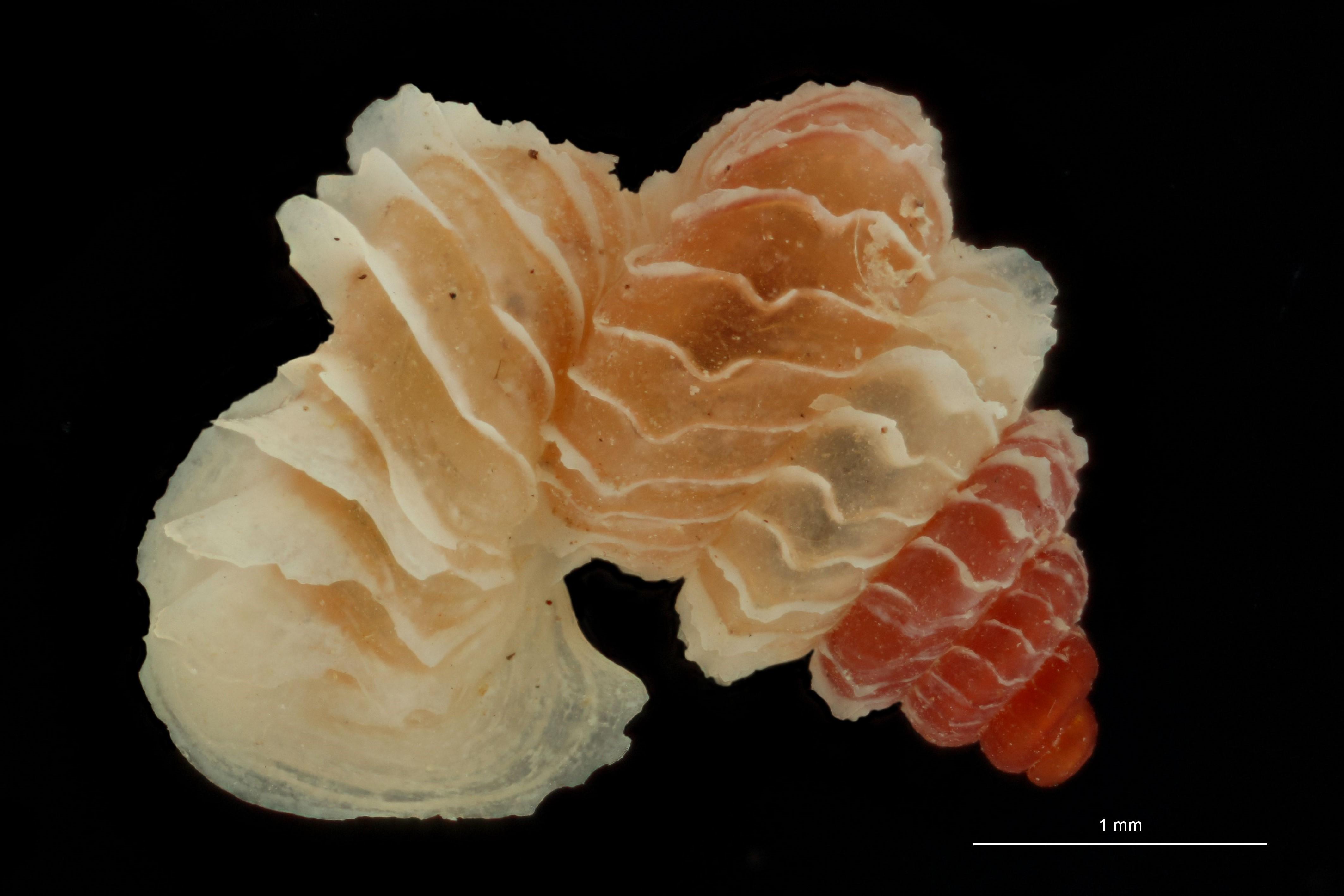 BE-RBINS-INV PARATYPE MT 1032 Opisthostoma (Geothauma) linterae DORSAL.jpg