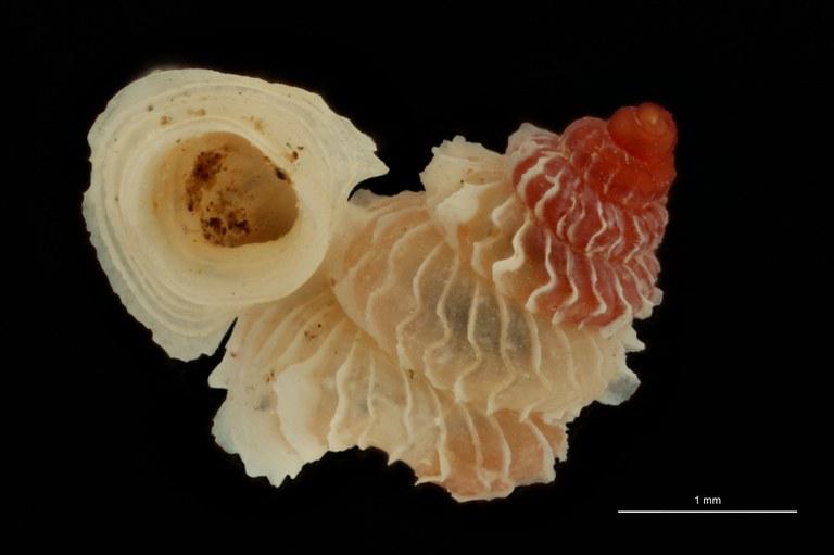 BE-RBINS-INV PARATYPE MT 1032 Opisthostoma (Geothauma) linterae FRONTAL.jpg