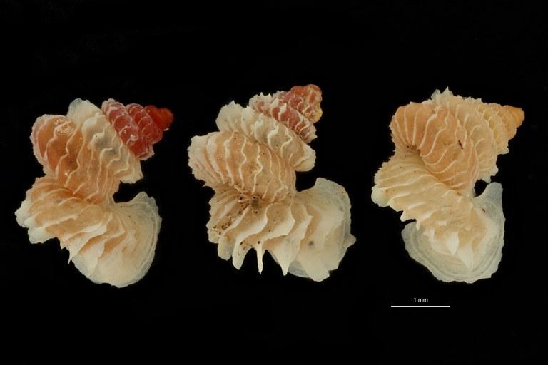 BE-RBINS-INV PARATYPE MT 1032 Opisthostoma (Geothauma) linterae GROUPE.jpg