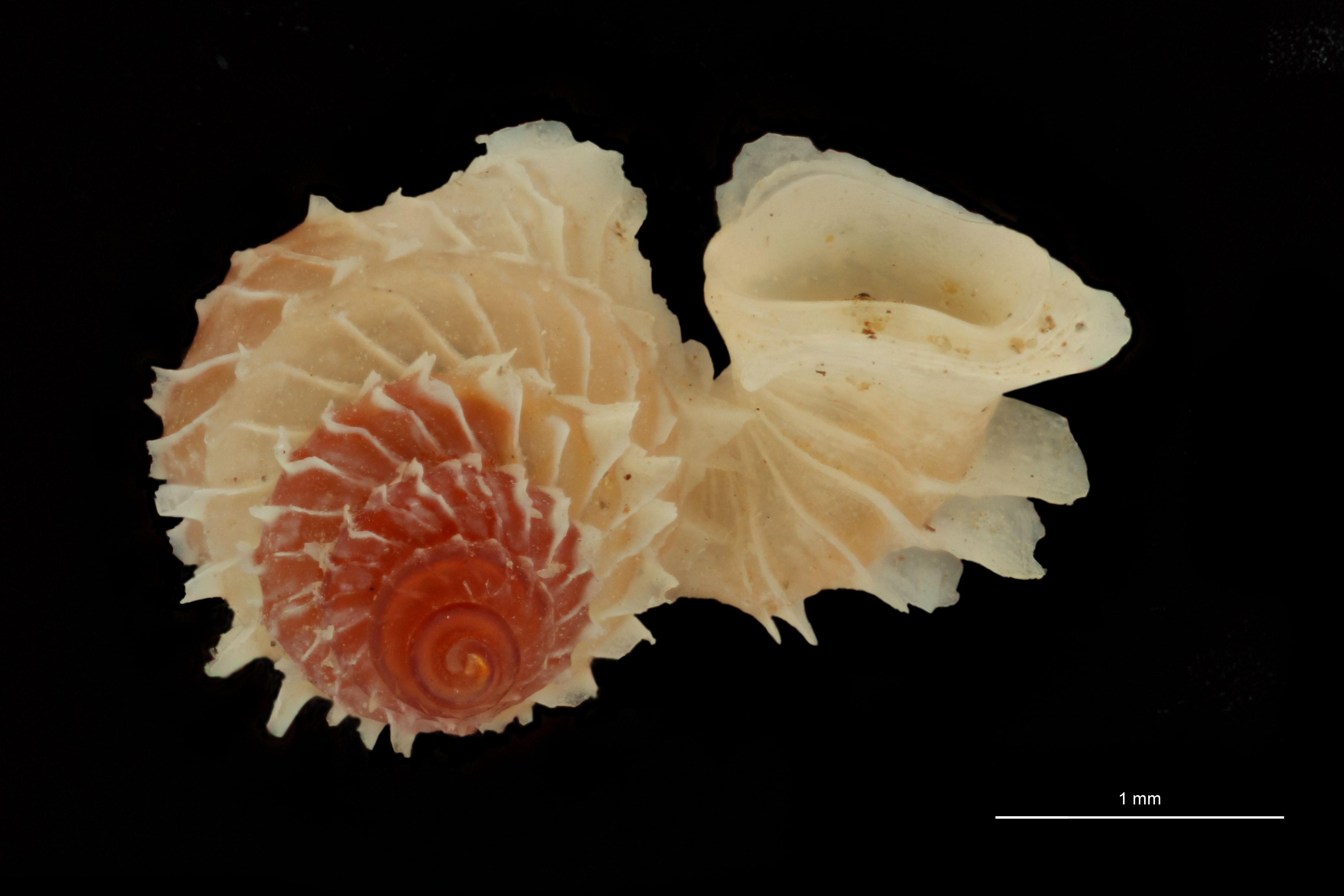 BE-RBINS-INV PARATYPE MT 1032 Opisthostoma (Geothauma) linterae LATERAL.jpg