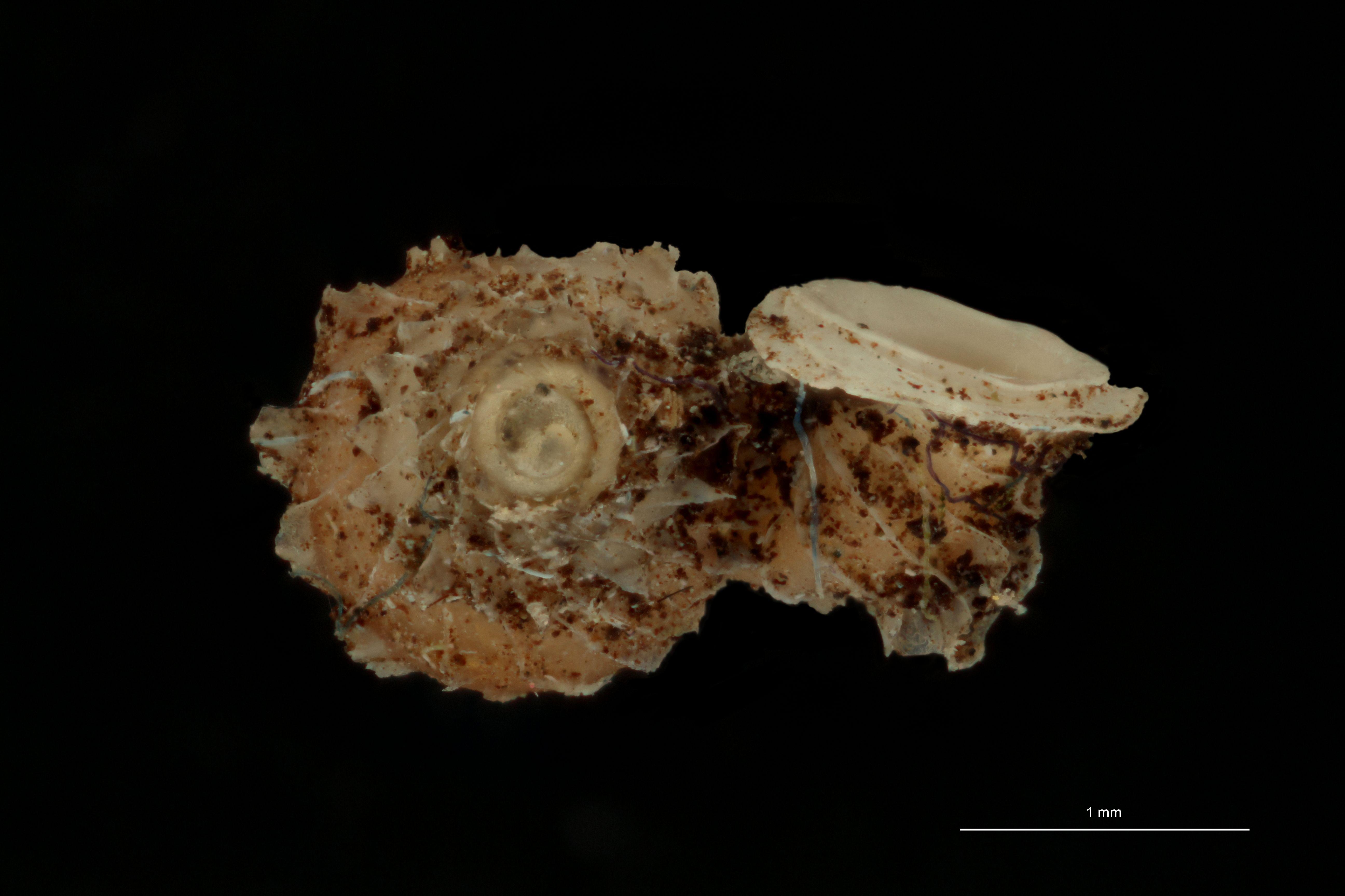 BE-RBINS-INV PARATYPE MT 1034 Opisthostoma (Geothauma) smithi ANTERIOR.jpg