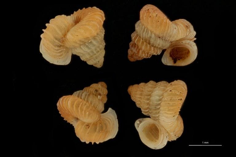 BE-RBINS-INV PARATYPE MT 1033 Opisthostoma (Plectostoma) simplex GROUPE.jpg