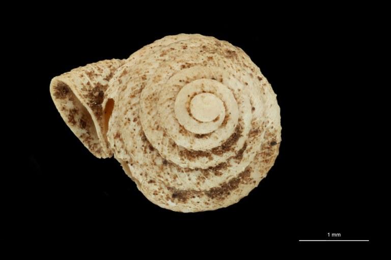 BE-RBINS-INV PARATYPE MT 1035 Opisthostoma tonkinianum ANTERIOR.jpg