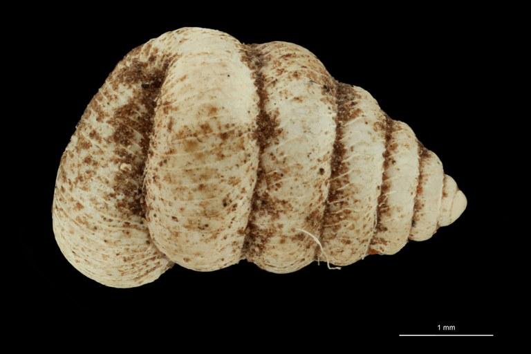 BE-RBINS-INV PARATYPE MT 1035 Opisthostoma tonkinianum DORSAL.jpg