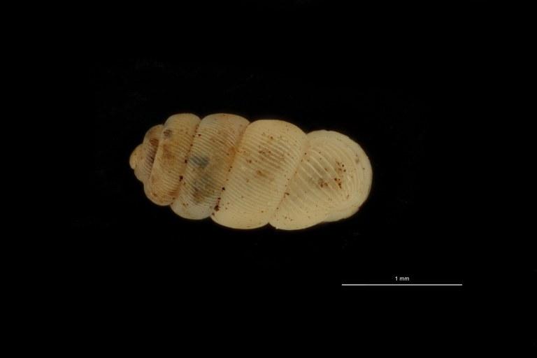 BE-RBINS-INV PARATYPE MT 1022 Palaina beilanensis DORSAL.jpg