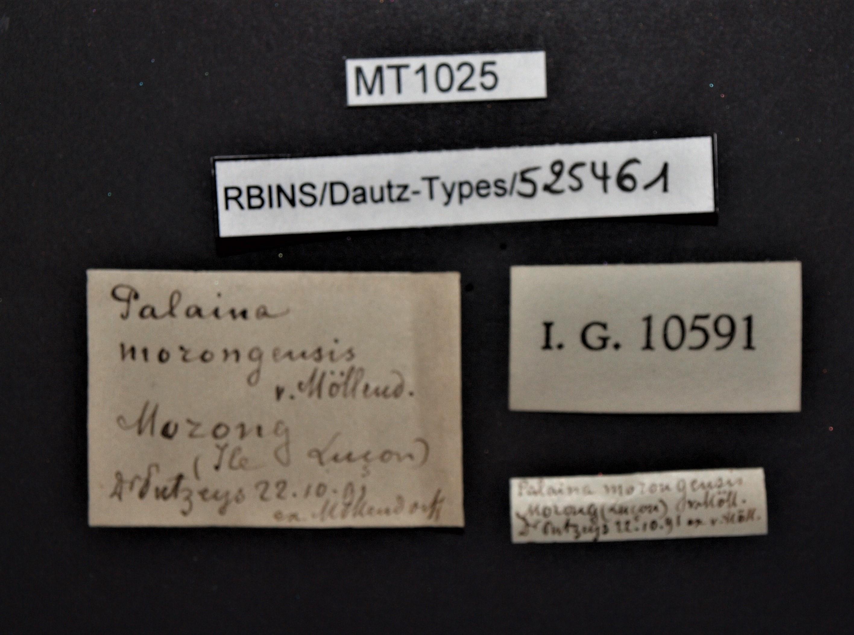 BE-RBINS-INV PARATYPE MT 1025 Palaina (Palaina) morongensis LABELS.jpg