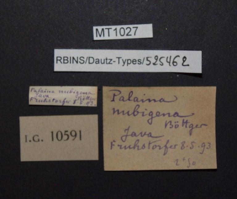 BE-RBINS-INV PARATYPE MT 1027 Palaina (Palaina) nubigena LABELS.jpg